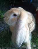 gul kaninhane till salu